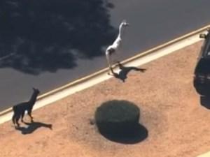 llamas-on-the-loose