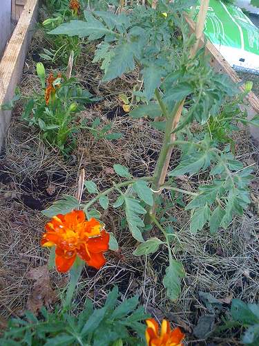 Œillets plantés à côté des tomates. #cacestfait #lespetitsplaisirsdelavie