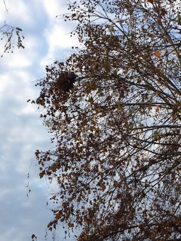 Nest in tree. Photo by Jeffrey Oaks