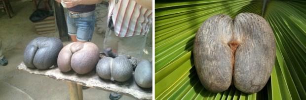 Pelvis looking fruit, praslin, seychelles