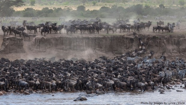 wildebeest-migration-2
