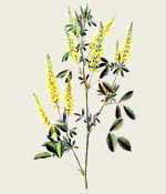 Melilot Flowers