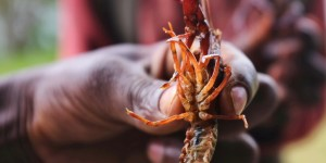 Freshwater Crayfish: the forgotten invaders wreaking havoc across Africa