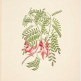 Clianthus puniceus (G. Don) Banks & Solander ex Lindley; Plate 432