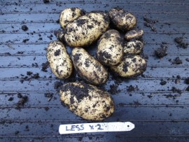 Potato trials - less tubers results