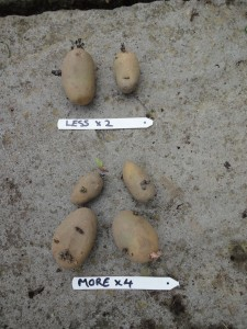 Potato trials - More vs less tubers