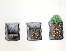 Potato trials - the traditional method