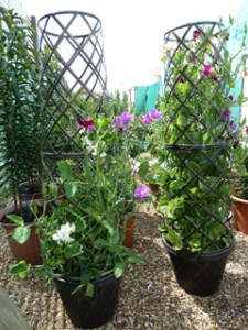 Diary One – Sweet pea: The 'Root' of Success