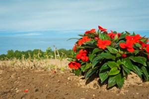 Bedding plants - a revival