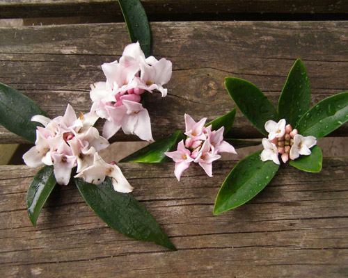 worlds most scented shrub