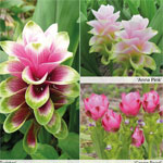 Curcuma-Collection