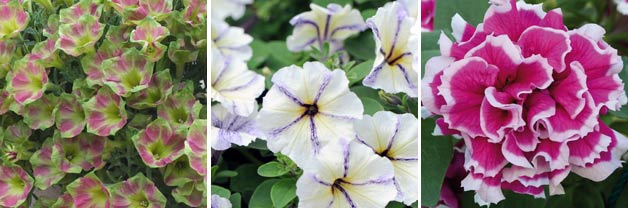 Petunias 'Green With Envy', 'Cloud nine' and 'Anna'