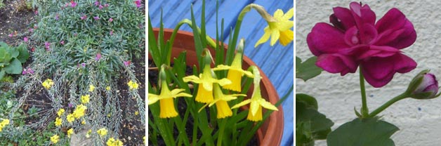 Jean's Erysium, Daffodils and Geraniums