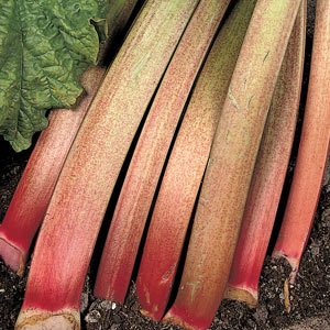 Rhubarb 'Thompson's Terrifically Tasty'