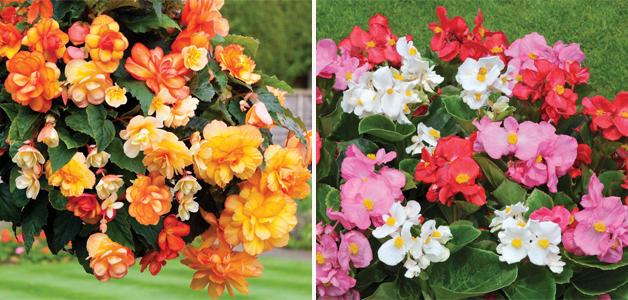 Begonia 'Apricot Shades' & Begonia 'Lotto Mixed'