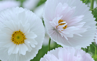 Cosmos 'Cupcakes White' favourite with RHS visitors