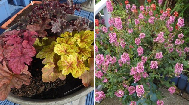 Autumn colour & diascia's 2nd flowering