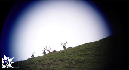 Hirsche im Schweizer Nationalpark