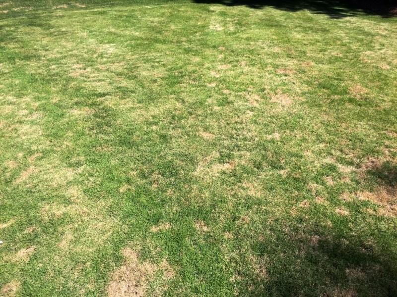 Grass dollar spot