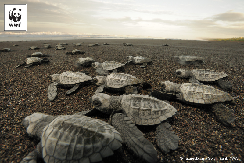 Hatchling Olive ridley sea turtles emerge together and move towards the sea at dawn.