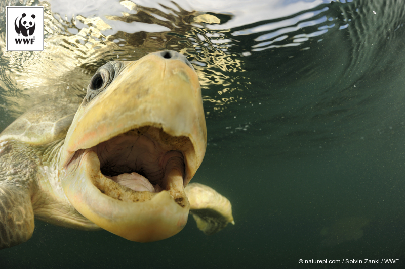 Say what?! Female Olive ridley sea turtle swimming from the open ocean towards the beach