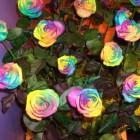 rosas_coloridas (6)