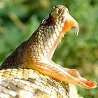 Entenda por que você não quer ser picado por uma cobra