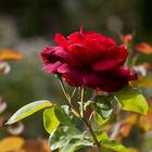 Uma rosa por um sorriso