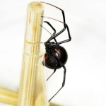 Sideview of black widow spider