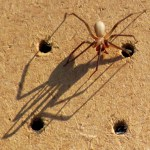 Brown_Recluse_Board