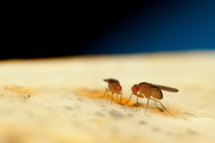 Dancing Fruit Flies