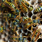 Nest of wasps in close up busy making nest