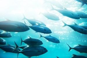 Criam método fluorescente para detectar mercúrio no peixe