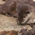 Nutrias marinas se recuperan 25 años después del desastre del Exxon Valdez
