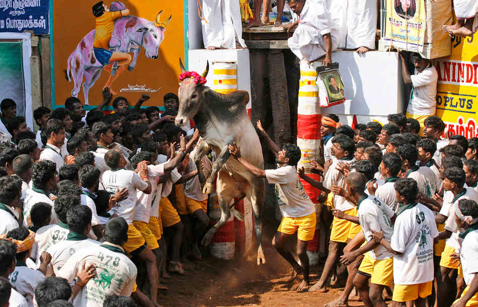 A bull charges out from an enclosure during the bull-taming sport, called Jallikattu, in Alanganallur, about 530 kilometers (331 miles) south of Chennai, India, Wednesday, Jan. 16, 2013. Jallikattu is an ancient heroic sporting event of the Tamils played during the harvest festival of Pongal. (AP Photo/Arun Sankar K.)