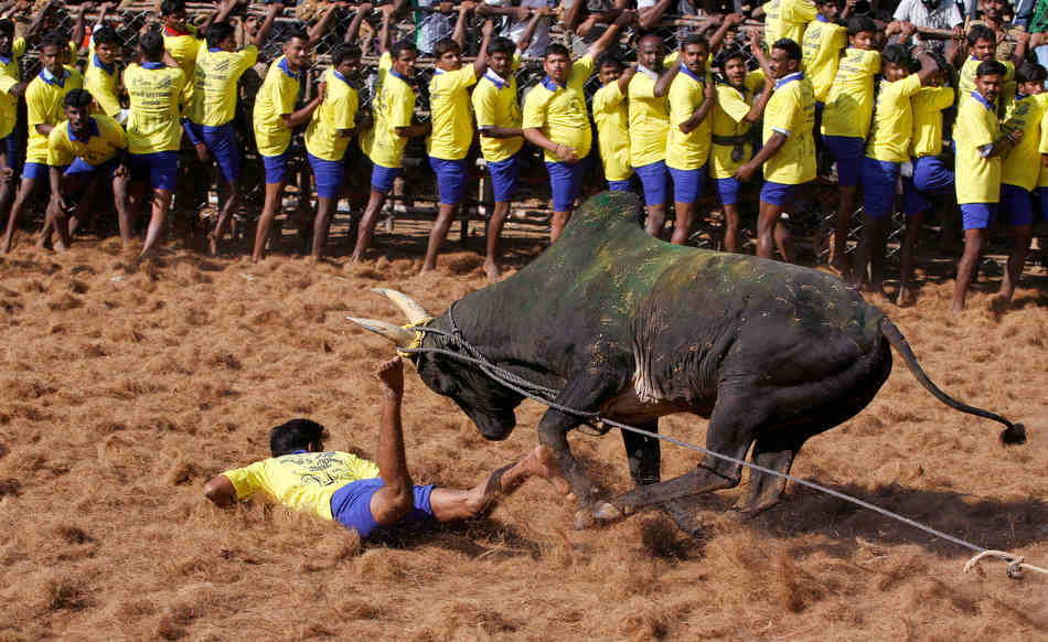 A bull charges towards a tamer during the bull-taming sport called Jallikattu, in Palamedu, about 575 kilomters (359 miles) south of Chennai, India, Tuesday, Jan. 15, 2013. Jallikattu is an ancient heroic sporting event of the Tamils played during the harvest festival of Pongal. (AP Photo/Arun Sankar K.)