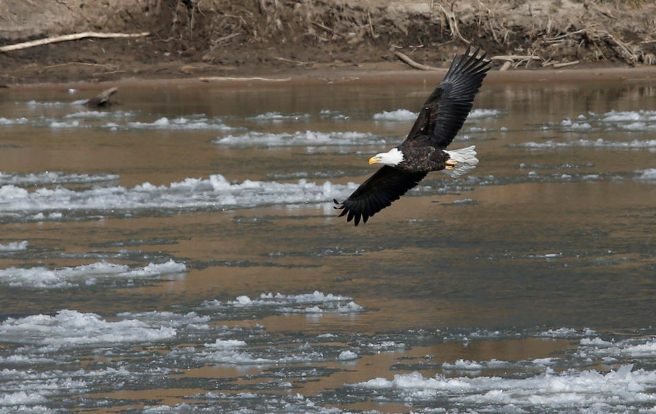 A bald eagle flies over ice in the Kansas River, Monday, Jan. 27, 2014, near Lecompton, Kan. The area has single digit temperatures and sub-zero wind chills. (AP Photo/Orlin Wagner)