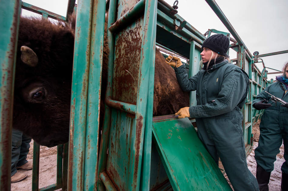 FRED ZWICKY/JOURNAL STAR  Once a year, the bison herd at Wildlife Prairie Park get vaccinations, vitamin supplement and a de-worming topical treatment. On Dec. 12, Molly Baldes, a senior animal science major University of Illinois, from Pekin, right, injects a vaccine through the thick fur coat of a bison as students from the University of Illinois Rural Animal Health and Medicine Service, along with staff and outside experts take the day to work each animal into a chute system that minimizes human contact and stress on the animal.
