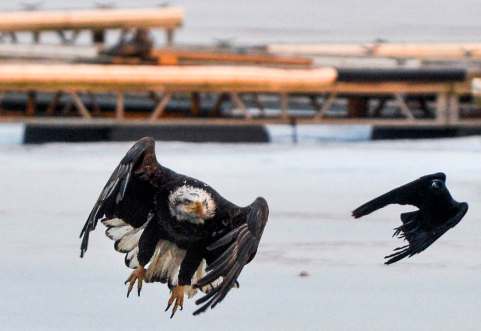 RON JOHNSON/JOURNAL STAR   A bald eagle takes flight to chase a crow from his dinner on the ice at the Peoria Boat Club Marina on January 14. Birds of prey are commonly seen along the Illinois River searching for dead fish that rise near openings on the ice.