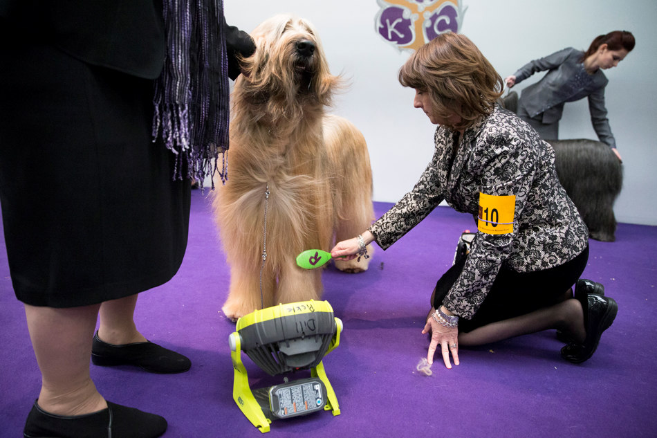 Dill Pickle, a Briard, is brushed while being cooled by a fan ringside before a competition during the Westminster Kennel Club dog show, Monday, Feb. 10, 2014, in New York. (AP Photo/John Minchillo)