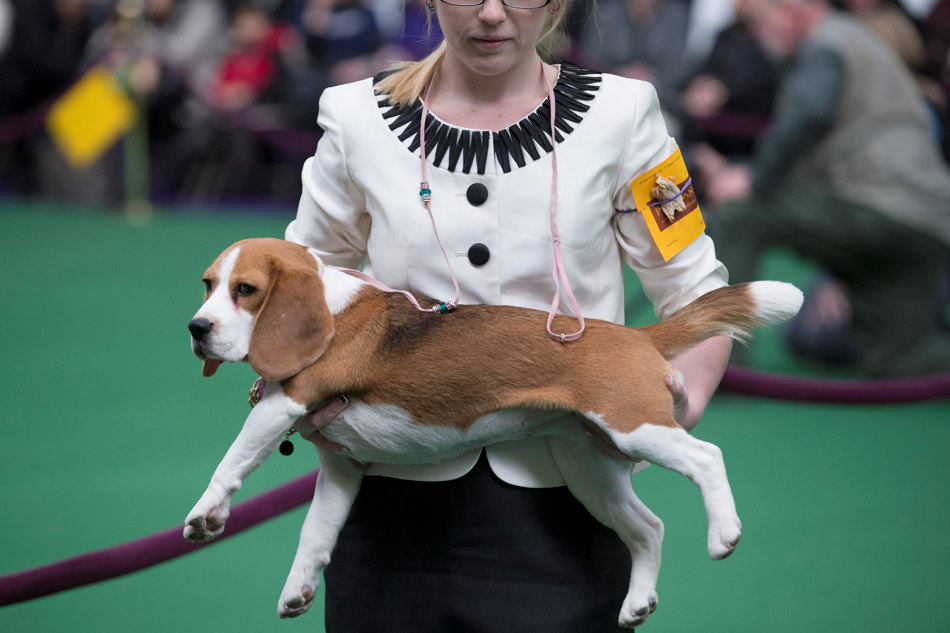 A Beagle is held before being placed on a judging table during the Westminster Kennel Club dog show, Monday, Feb. 10, 2014, in New York. (AP Photo/John Minchillo)