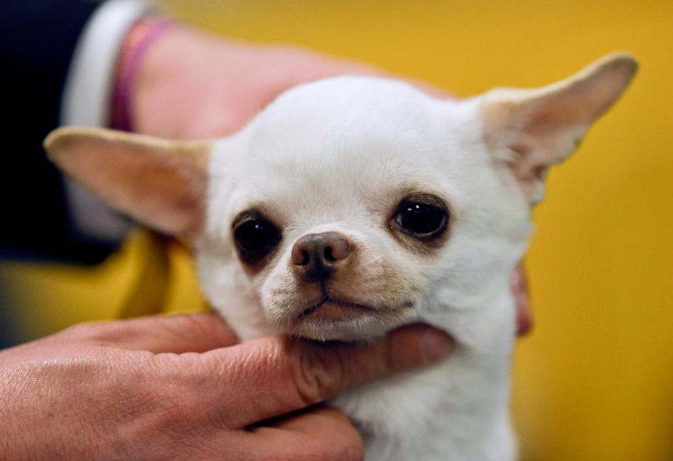 Sonnus Filho, a smooth coat chihuahua, is groomed for the 138th Westminster Kennel Club dog show, Monday, Feb. 10, 2014, in New York. (AP Photo/Frank Franklin II)