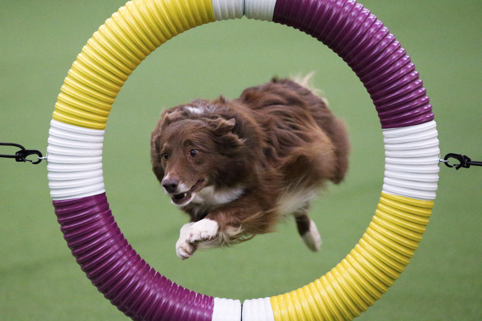 Rapture a Border Collie clears the tire obstacle during the Masters Agility Championship at Westminster staged at Pier 94, Saturday, Feb. 8, 2014, in New York. The competition marks the first time mixed-breed dogs have appeared at Westminster. (AP Photo/John Minchillo)