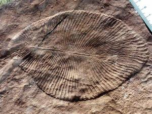 Ediacaran ancient life form Dickinsonia Costata