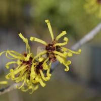 13 Uses for Witch Hazel
