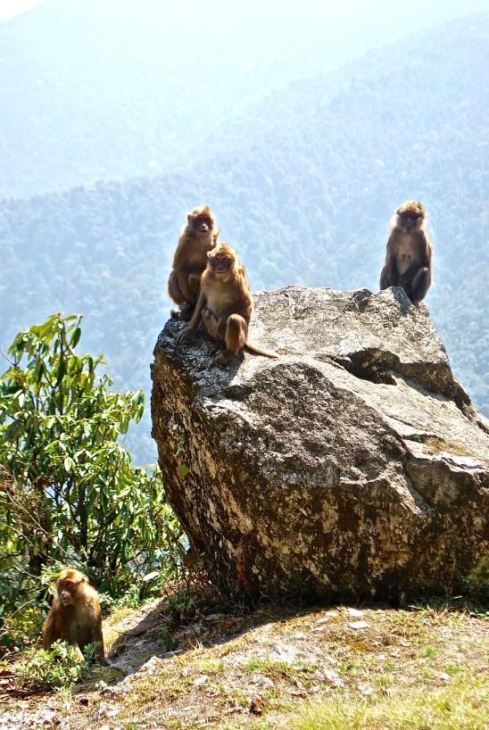 Assamese macaque monkeys in Bhutan