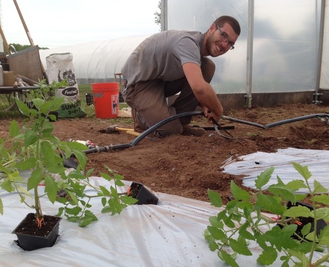 Justin hooks up drip irrigation on the greenhouse heirloom tomatoes.