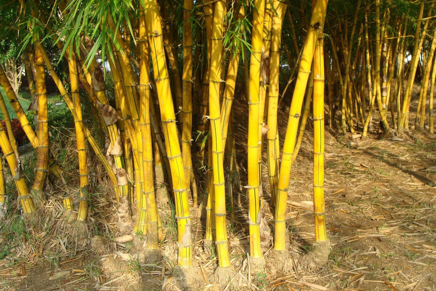 Cute Salt Good How To Kill Bamboo Gen Bamboo Stafford Tries To Stem Bamboo Invasion By Regulating Plant How To Kill Bamboo houzz 01 How To Kill Bamboo