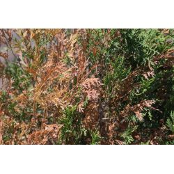Smart An Arborvitae At Edenvale Nursery Shows Signs Resources Is Urging People Towait One Browning Evergreens May Winter Burn Culprit Local Browning Caused By Minnesota Department houzz-02 North Branch Nursery