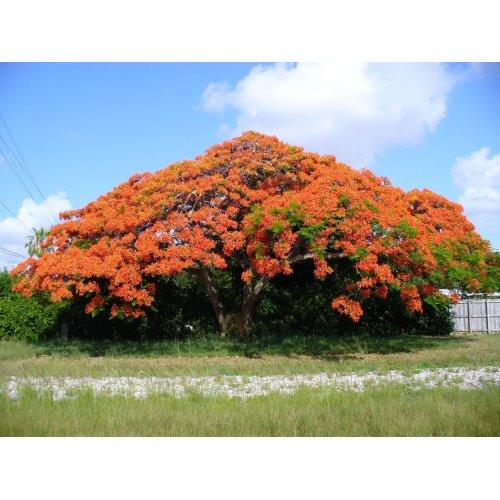 Medium Crop Of Royal Poinciana Tree